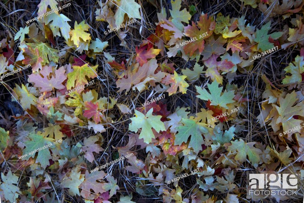 Stock Photo: Fall colors have arrived at Zion National Park, Utah.