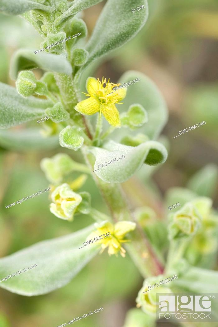 Stock Photo: NATIVE SOUTH AFRICAN TETRAGONIA DECUMBENS IN FLOWER. A WEED IN AUSTRALIAN COASTAL ZONES.