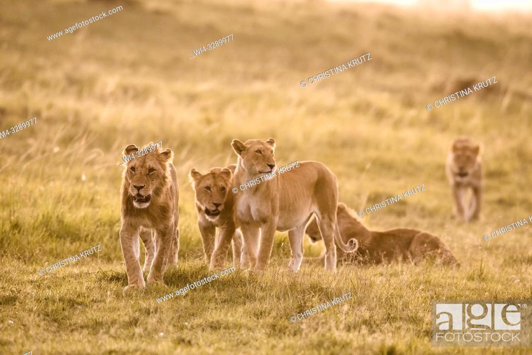 Stock Photo: African Lion (Panthera leo) pride on the move, Maasai Mara National Reserve, Kenya, Africa.