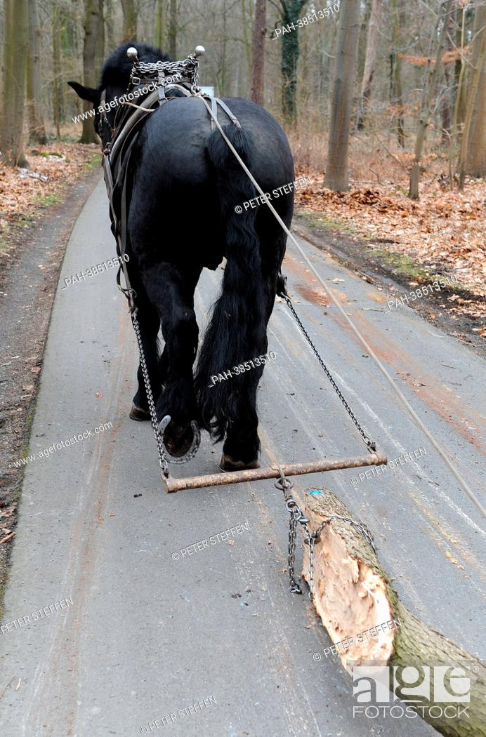 Draft Horse Medoc A French Percheron Stallion Pulls Logs From The Municipal Forest Eilenriede In Stock Photo Picture And Rights Managed Image Pic Pah 38513510 Agefotostock
