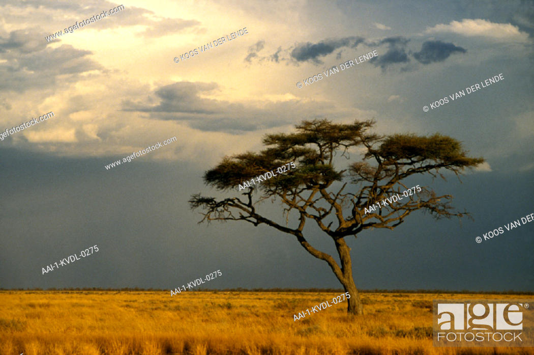 Stock Photo: Camelthorn Tree, Etosha , Namibia.