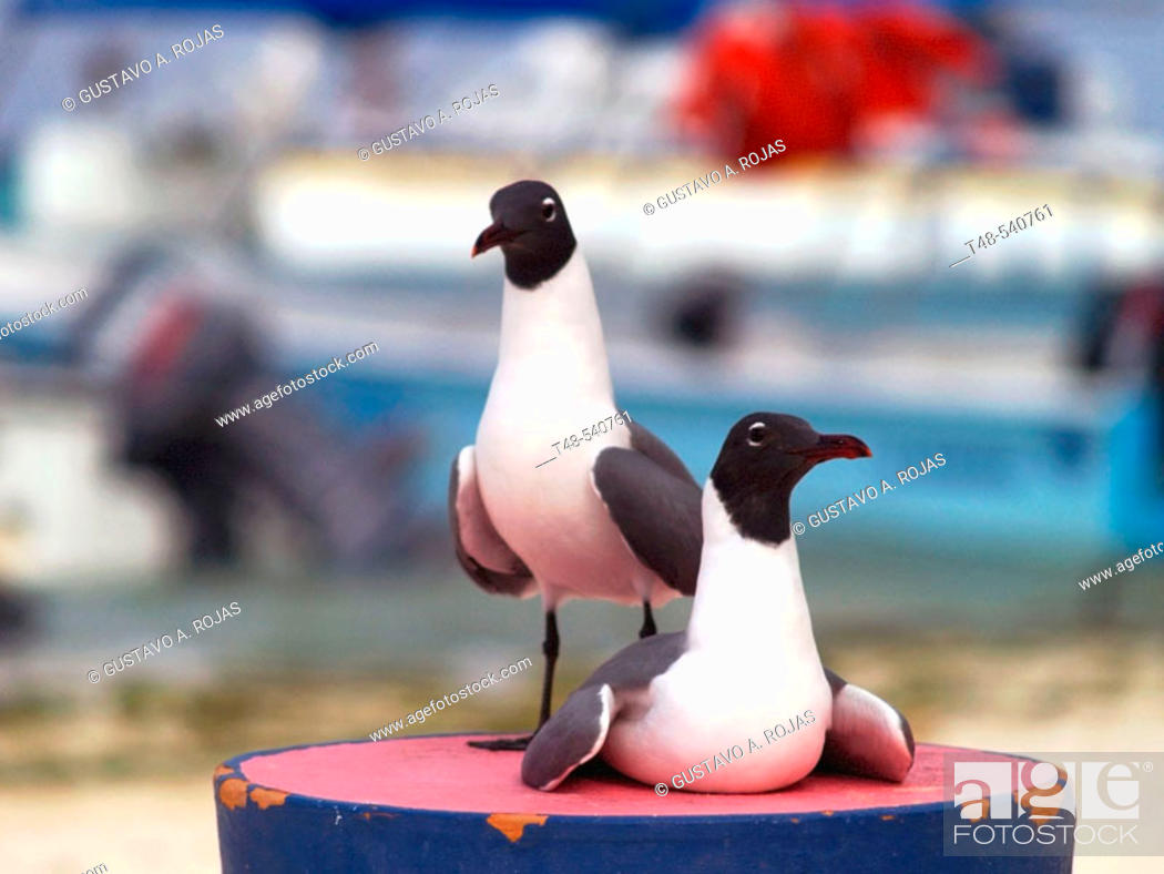 Stock Photo: Pair of Laughing Gull (Larus atricilla).