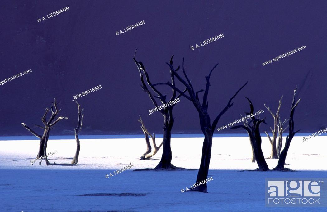 Stock Photo: camel thorn, giraffe thorn (Acacia erioloba), dead trees befores sanddunes, Namibia, Namib Naukluft National Park, Dead Vlei.