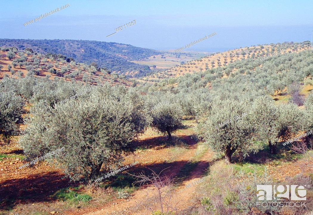 Stock Photo: Olive groves. La Jara, Toledo province, Castilla La Mancha, Spain.