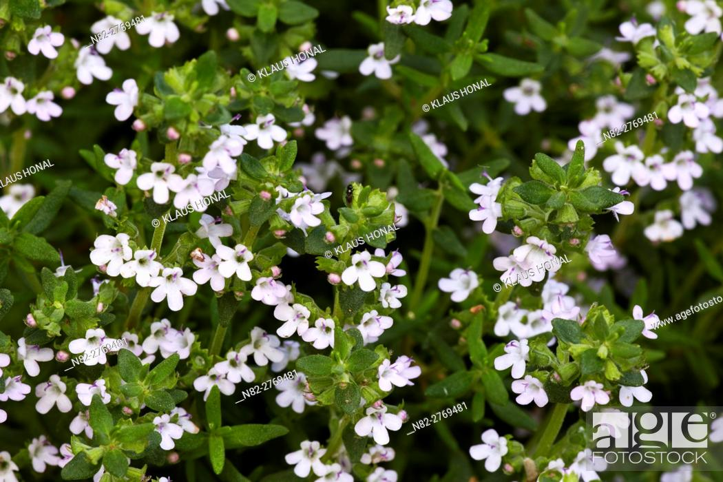 Photo de stock: Thyme (Thymus vulgaris) blossoms in the rural garden. Content cloths: Thymolum - Bitter substances - Tanning substances - Ethereal oils - Region Hesselberg.