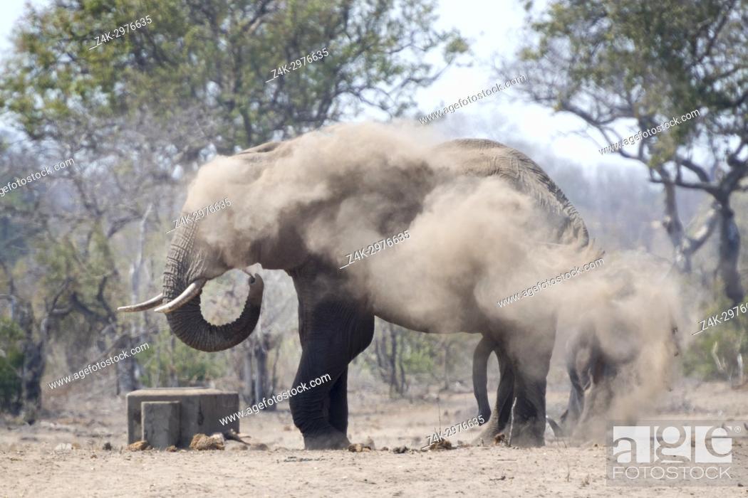 Stock Photo: African Elephant (Loxodonta africana) bull, taking dust bath, Kruger national park, South Africa.