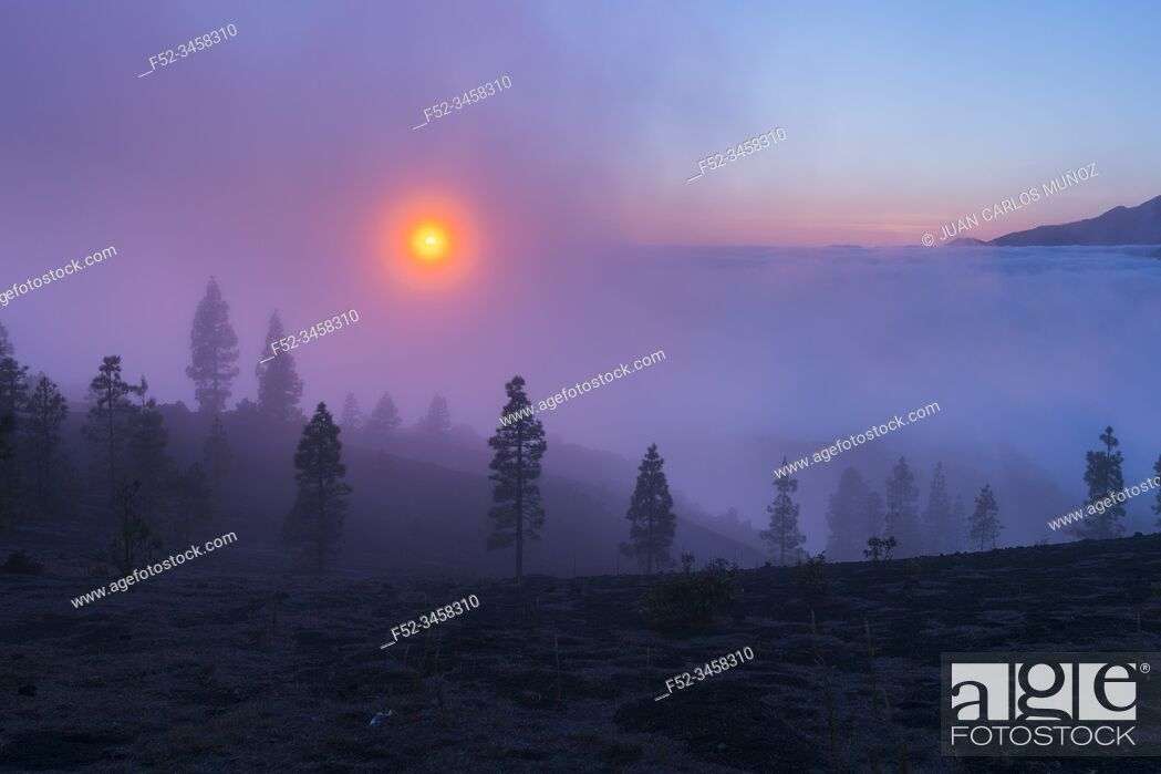 Stock Photo: Fog and Canary Island pine forest, Llano del Jable, Island of La Palma, Canary Islands, Spain, Europe.