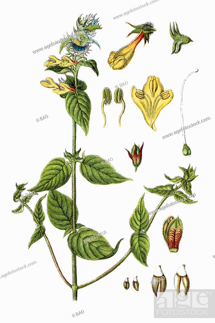 Stock Photo: Wood Cow-wheat (Melampyrum nemorosum), medicinal plant, historical chromolithography, ca. 1796.