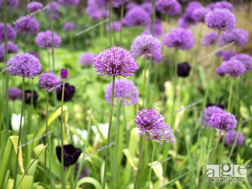 Imagen: Alliums in flower at the Peace Gardens in Sheffield city centre South Yorkshire England.