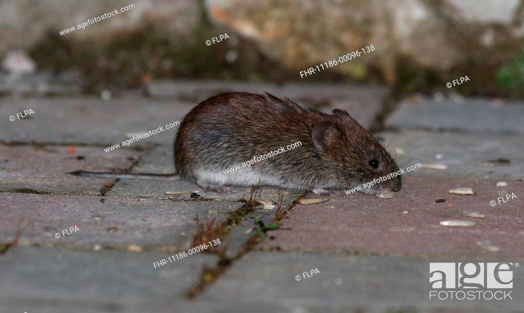 Stock Photo: Bank Vole Clethrionomys glareolus adult, feeding on garden patio, England.