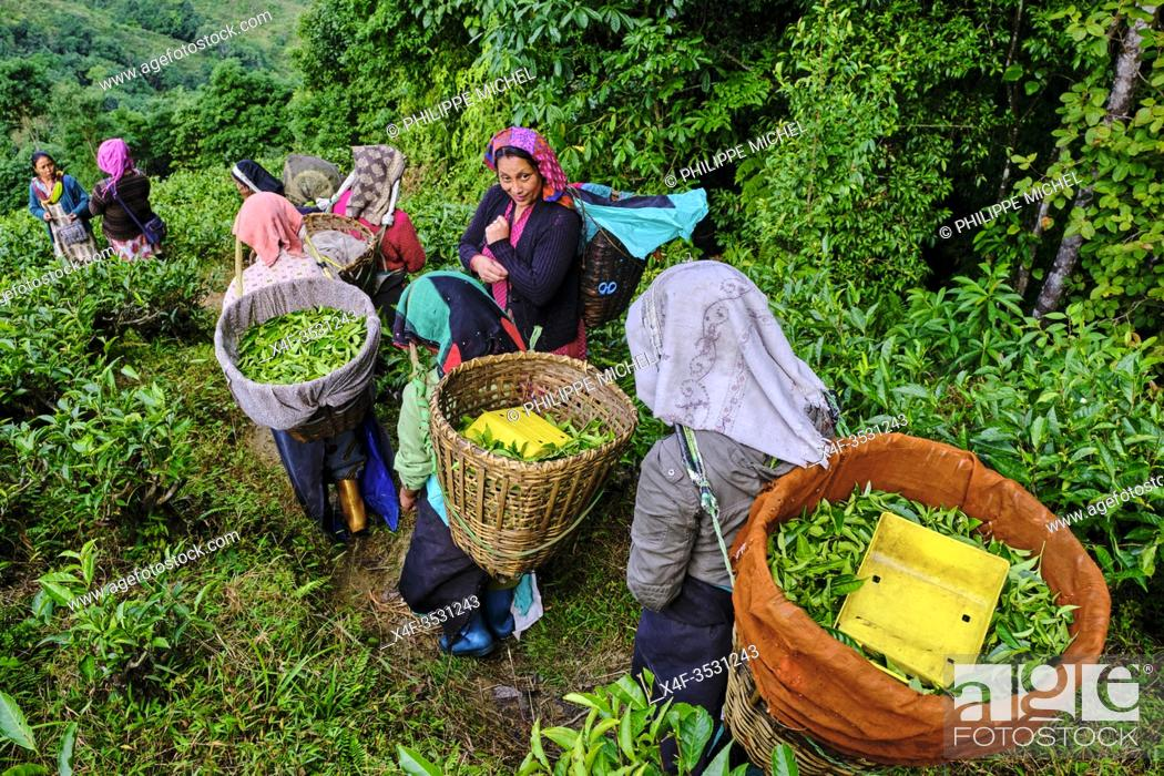 Stock Photo: India, West Bengal, Darjeeling, Phubsering Tea Garden, tea garden, tea picker picking tea leaves.