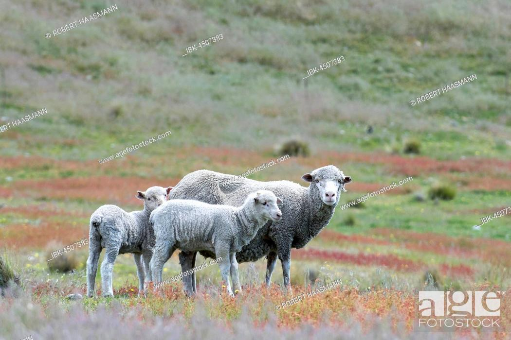 Stock Photo: Sheep (Ovis orientalis) on pasture, mother with two lambs, Mackenzie Country, South Island, Southland, New Zealand.