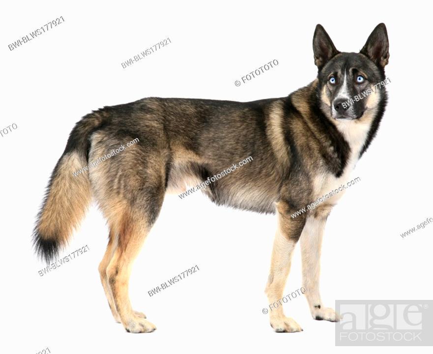 elkhound husky mix