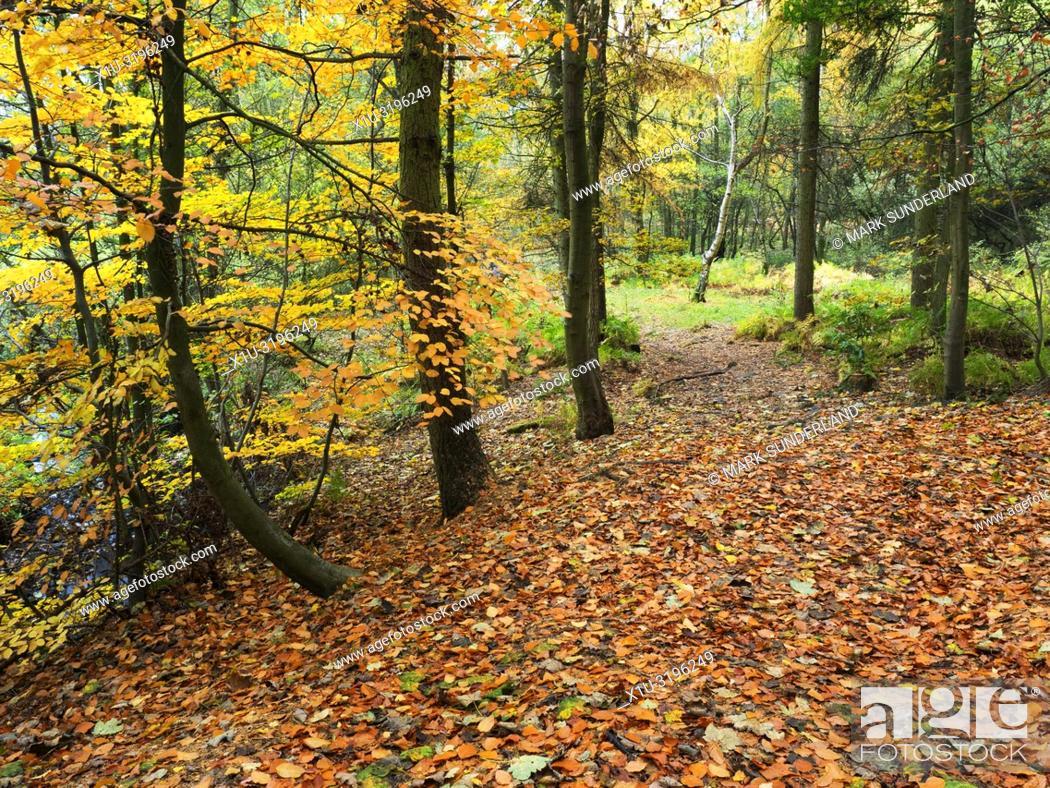 Imagen: A carpet of fallen leaves in autumn woodland at Hornbeam Park Harrogate North Yorkshire England.