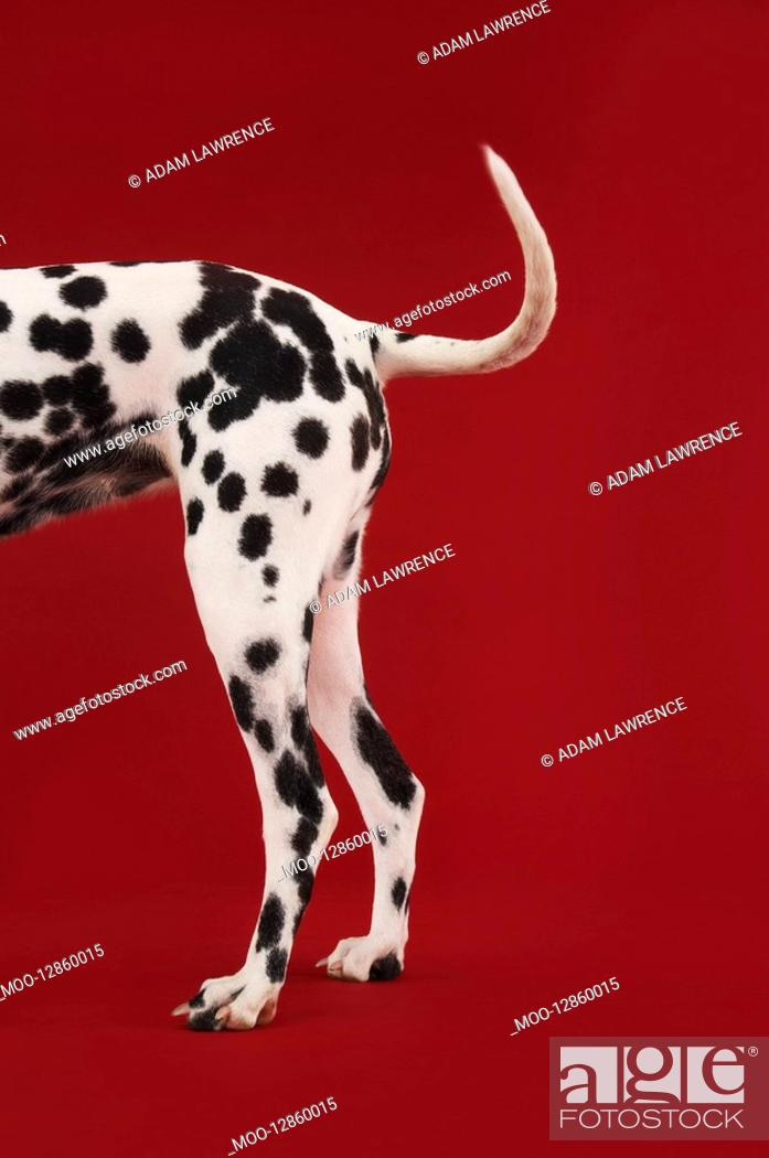 Photo de stock: Dalmatian standing tail and hind legs side view.