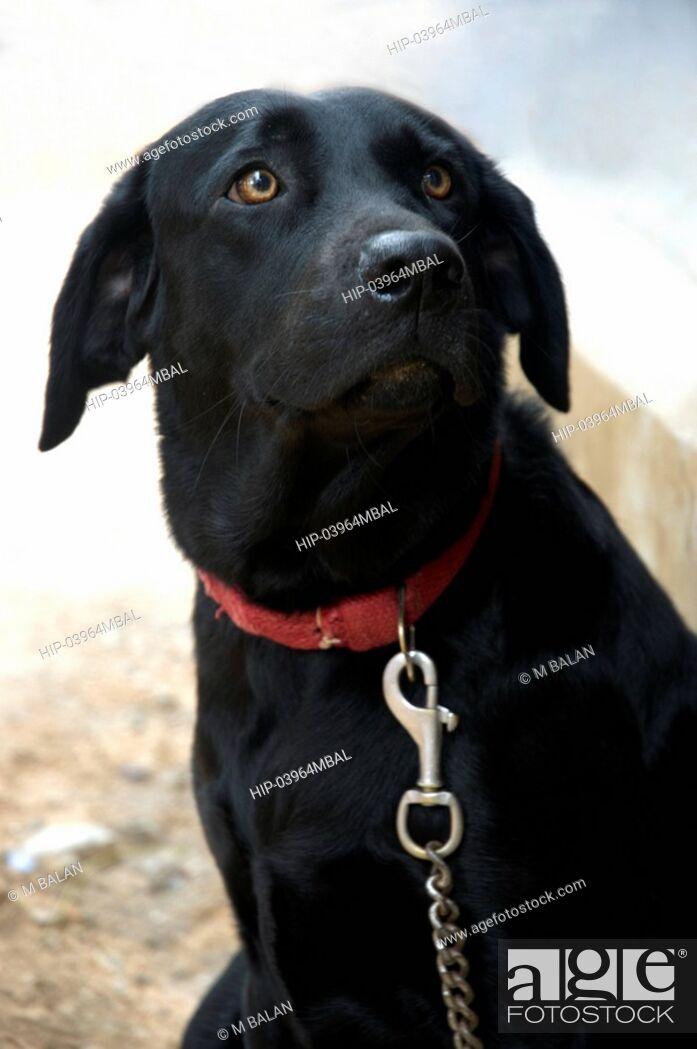 Imagen: LABRADOR DOG.