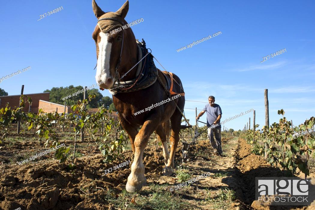Stock Photo: Animal traction in the vineyards. Vineyards of Raventos winery industry. Sant Sadurni d'Anoia, San Sadurni de Noya. Winery building. Catalonia Spain.