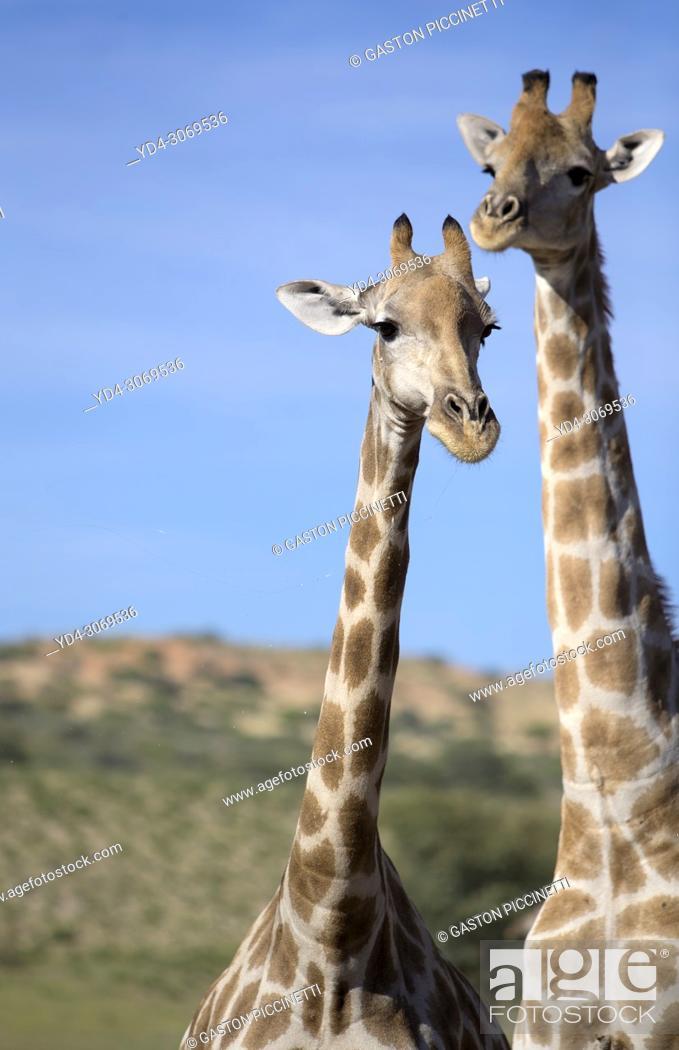 Imagen: Giraffe (Giraffa giraffa giraffa), Kgalagadi Transfrontier Park, Kalahari desert, South Africa/Botswana.
