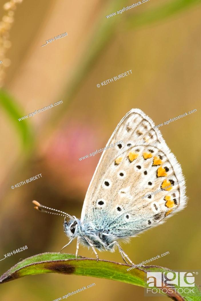 Stock Photo: Common Blue butterfly Polyommatus icarus, Wales.