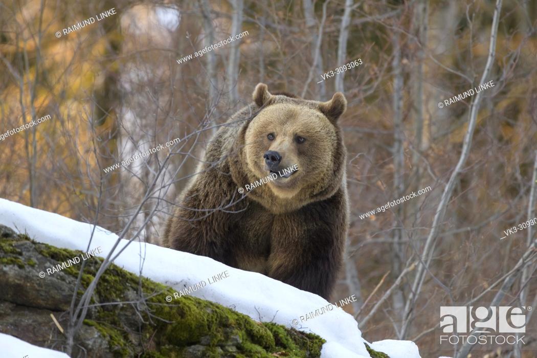 Photo de stock: Brown bear, Ursus arctos, in winter, Germany.
