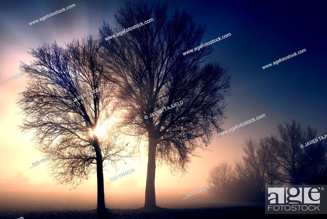 Stock Photo: Poplar grove. White Poplars Populus alba. Toledo province, Castile-La Mancha, Spain.