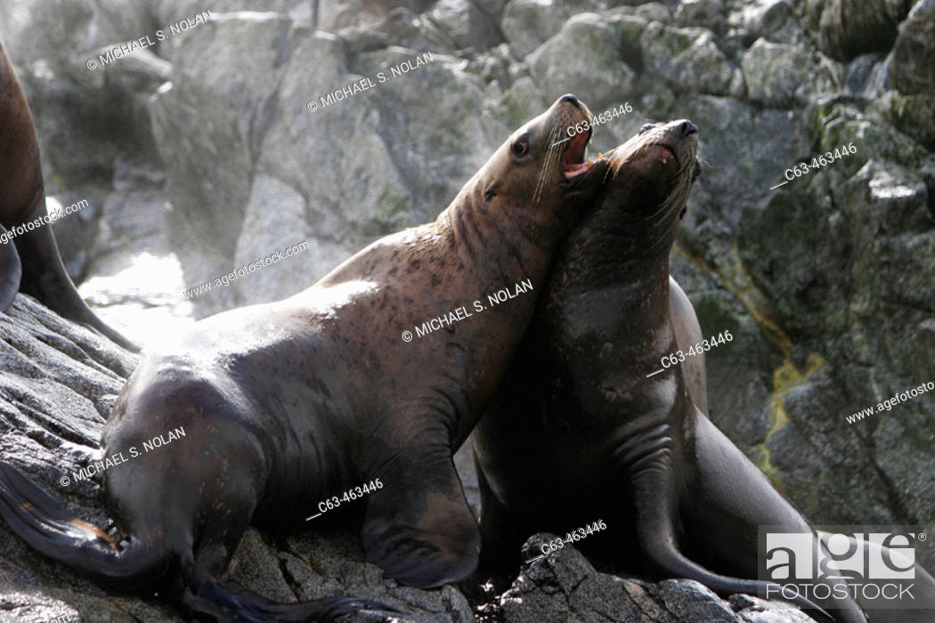 Stock Photo: A pair of Steller (Northern) Sea Lions (Eumetopias jubatus) mock fighting in Southeast Alaska, USA.