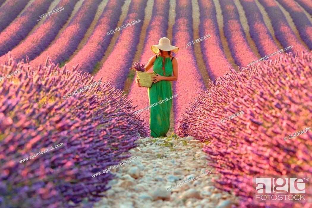 Stock Photo: Europe, France,Provence Alpes Cote d'Azur,Plateau de Valensole. Woman in lavender field.