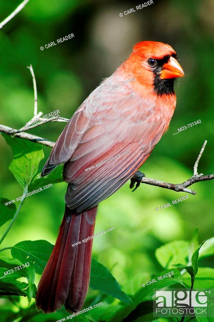 Stock Photo: A young male northern cardinal (Cardinalis cardinalis) looks over his shoulder, Pennsylvania, USA.