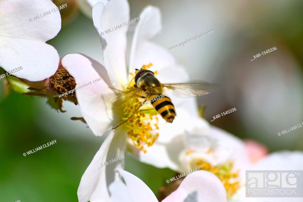 Stock Photo: Hoverfly landing on Rose flower.