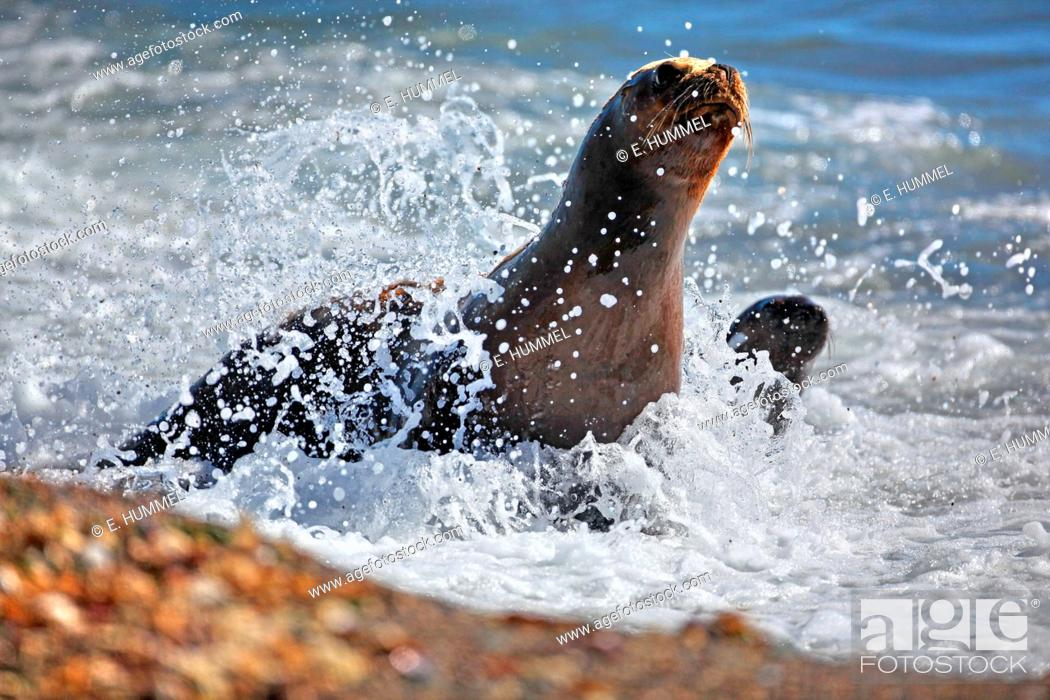 Imagen: Southern sea lion, South American sea lion, Patagonian sea lion (Otaria flavescens, Otaria byronia), mother and cub, Argentina, Peninsula Valdes.