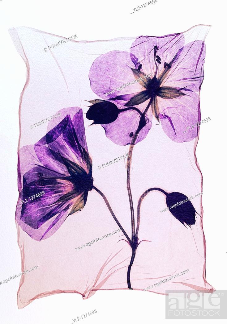 Stock Photo: Pressed geranium  Meadow Cranesbill  - Wild flowers - Polaroid lift.