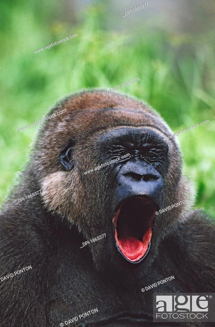 Stock Photo: Western gorilla yawning, Africa.