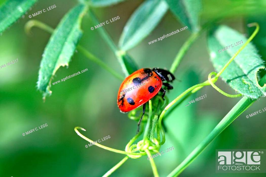 Stock Photo: Seven-spotted Ladybird Beetle, Beetle with damaged wings on a branch  coccinella septempunctata.