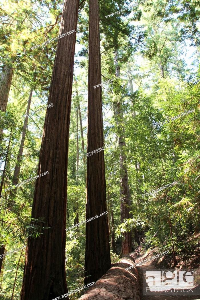 Stock Photo: Walking along the Redwood Trail amongst Redwood trees, with a giant Redwood lying alongside the trail, at Big Basin Redwoods State Park in Boulder Creek.
