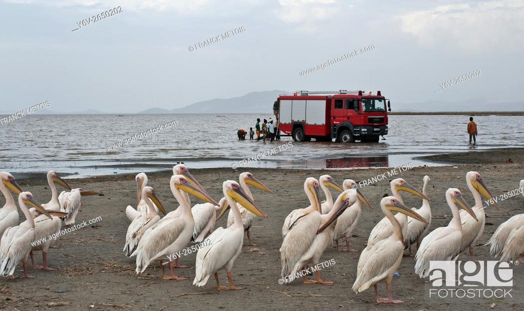 Stock Photo: Pelicans + fire truck in the background. Lake Ziway ( Oromiya state, Ethiopia).
