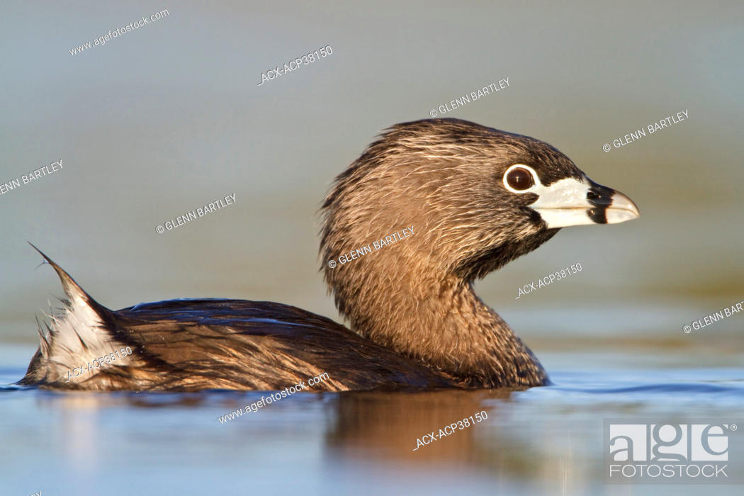 Stock Photo: Pied-billed Grebe Podiceps grisegena in a pond.