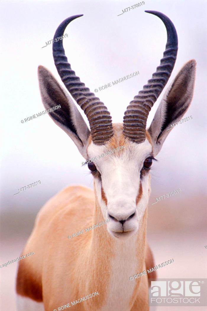 Stock Photo: Springbok (Antidorcas marsupialis). Etosha National Park. Namibia.