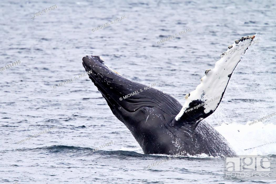 Stock Photo: Adult humpback whale Megaptera novaeangliae breaching along the west side of Chatham Strait in Southeast Alaska, USA  Pacific Ocean  MORE INFO There are an.