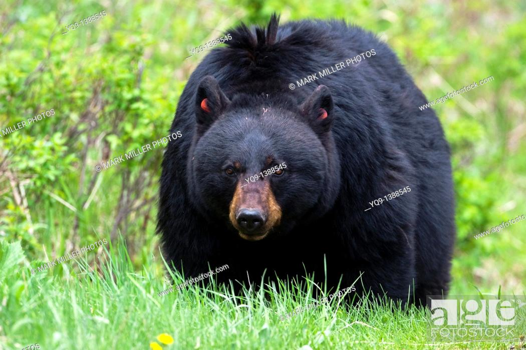 Stock Photo: Rosie- A Popular Black Bear in Yellowstone National Park.