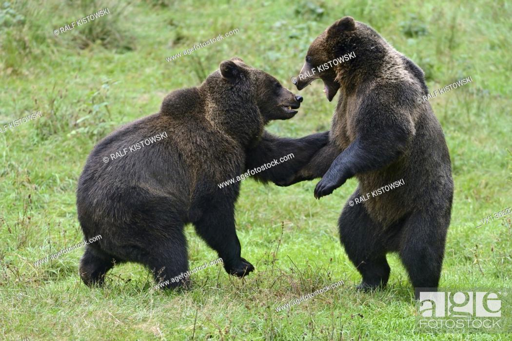 Stock Photo: Eurasian Brown Bear / Brown Bears ( Ursus arctos ) playing with each other, Europe.