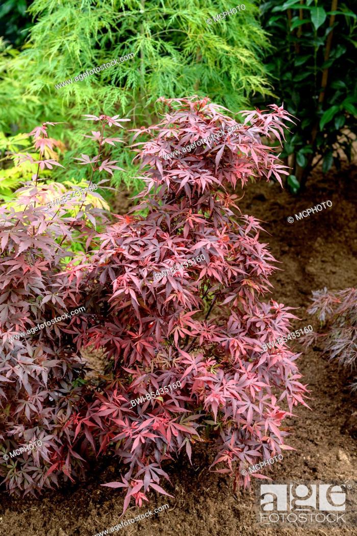 Japanese Maple Acer Palmatum Skeeters Broom Acer Palmatum