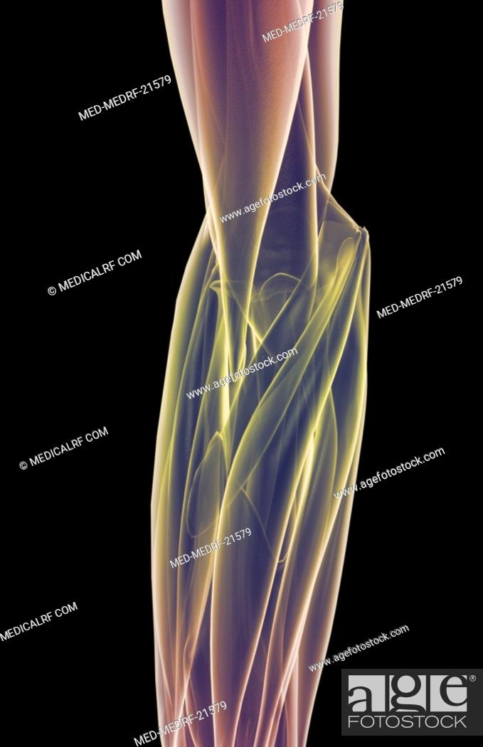 Stock Photo: The muscles of the elbow.