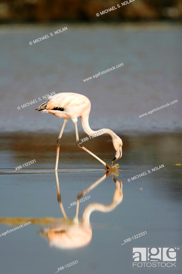 Stock Photo: Greater Flamingo Phoenicopterus ruber feeding in the calm water lagoon behind Cormorant Point, on Floreana Island in the Galapagos Island Archipelago  Pacific.