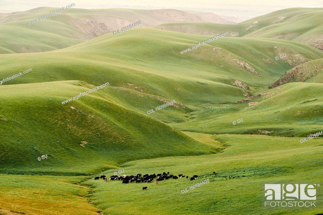 Stock Photo: Herding cattle in green valley, Shandan, Gansu, China.