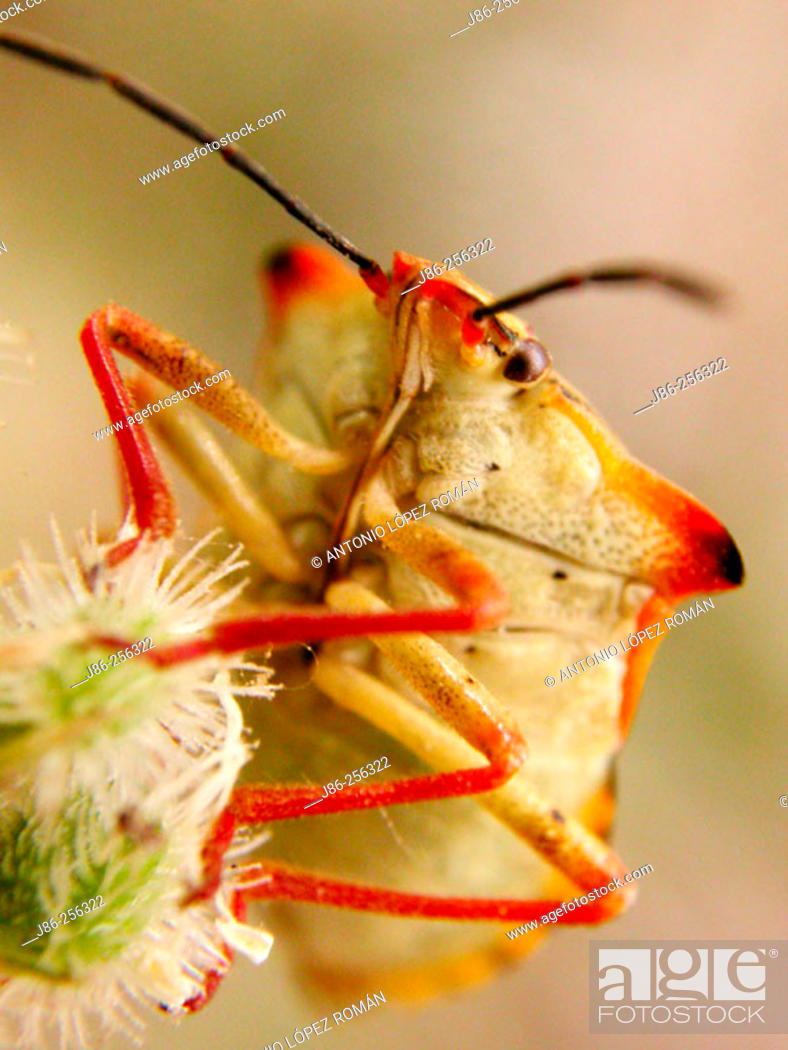 Stock Photo: Bug (Carpocoris mediterraneo-atlanticus).