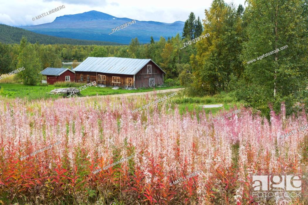 Stock Photo: Autumn landscape in Kvikkjokk, Swedish lapland with fireweed in foreground and an old barn and mounains in background.