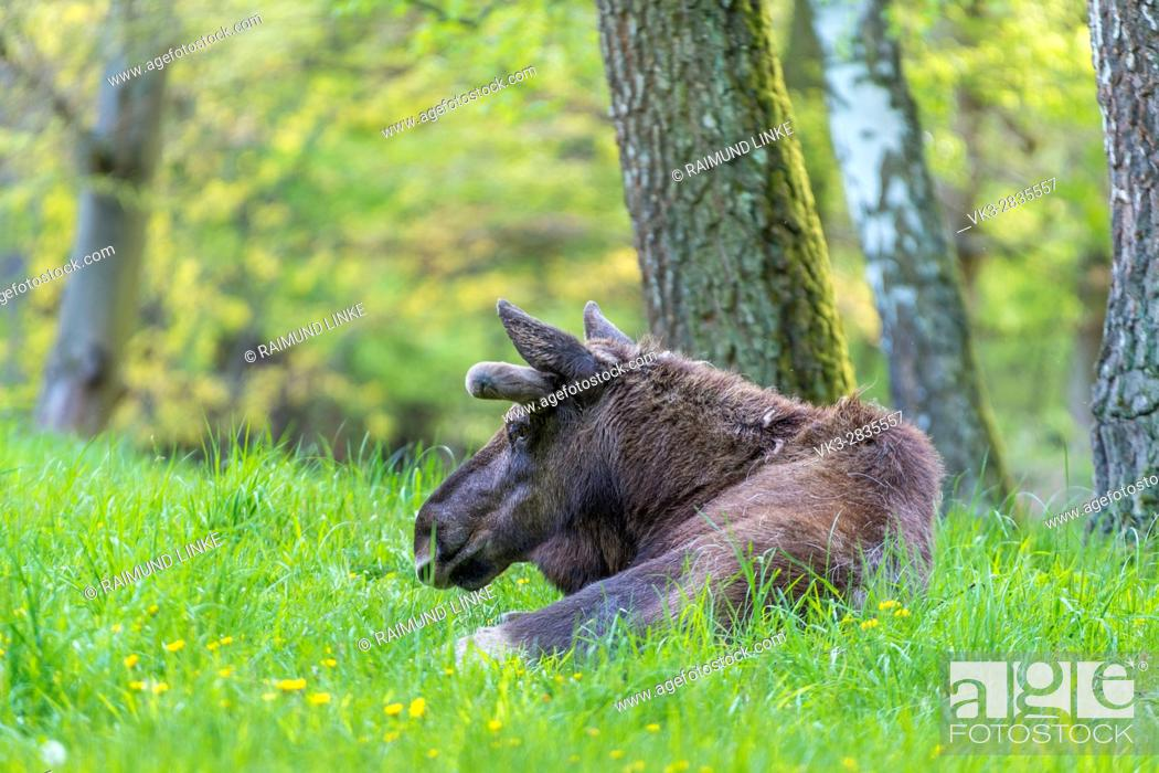 Stock Photo: Moose, Elk, Alces alces, Spring, Germany, Europe.
