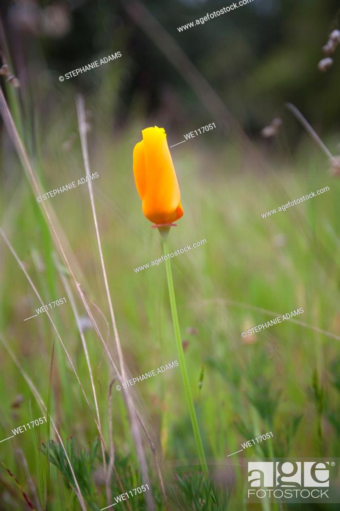 Photo de stock: A single California Poppy.