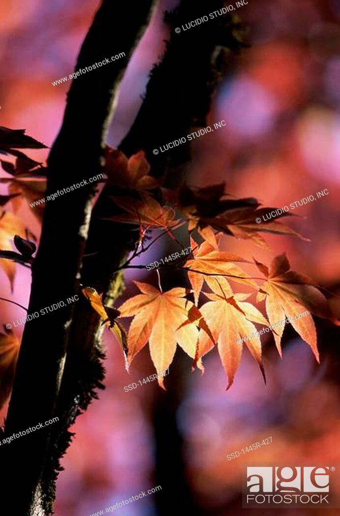 Imagen: Maple leaves on a tree.
