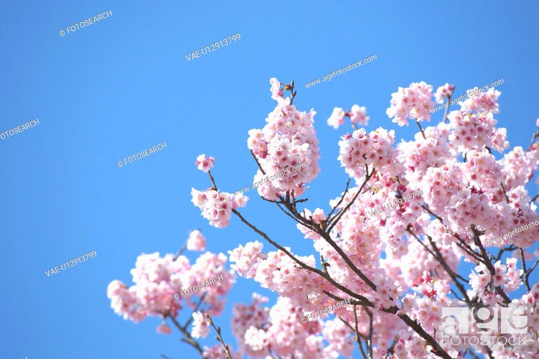 Stock Photo: Cherry blossoms.